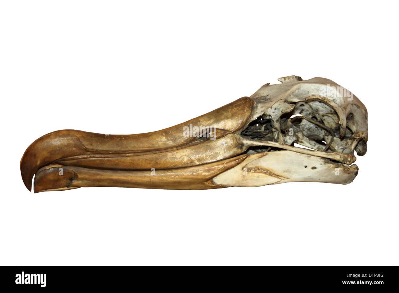 Albatross Skull - Stock Image