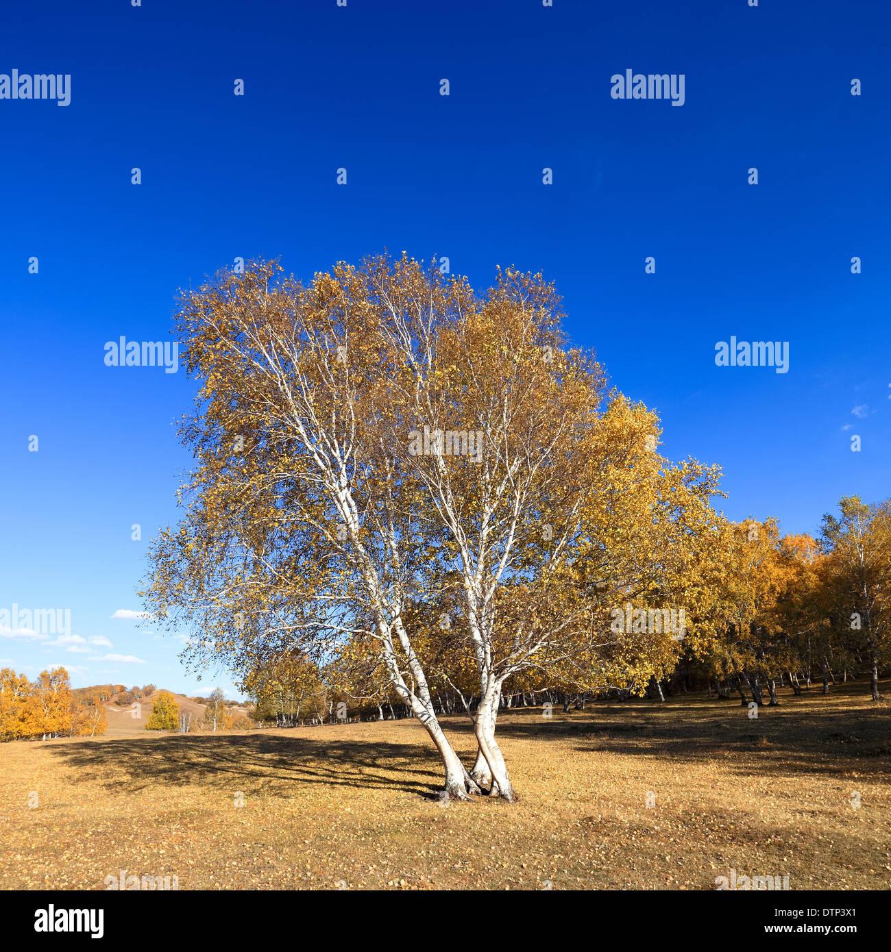 birch trees in autumn - Stock Image