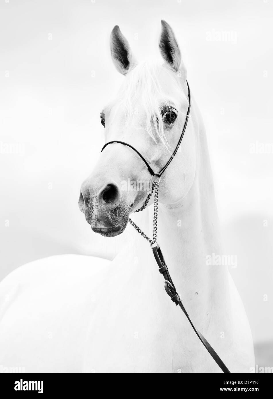 portrait of white purebred arabian stallion - Stock Image