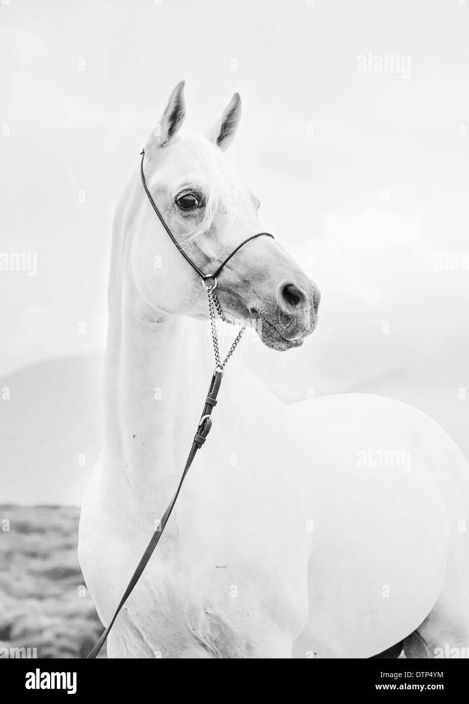 portrait of white beautiful arabian stallion - Stock Image
