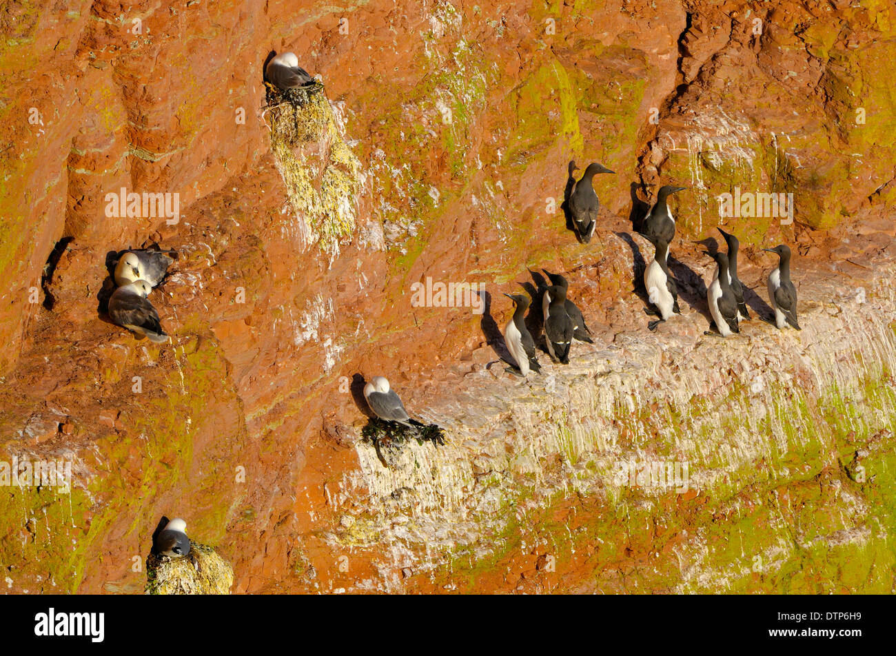 Breeding Colony Guillemots Northern Fulmars Black-legged Kittiwakes Heligoland Schleswig-Holstein Germany / (Uria aalge) - Stock Image