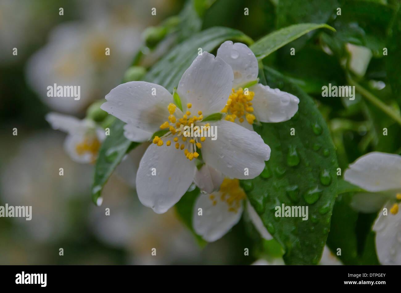Jasmine white flowers stock photo 66878755 alamy jasmine white flowers izmirmasajfo