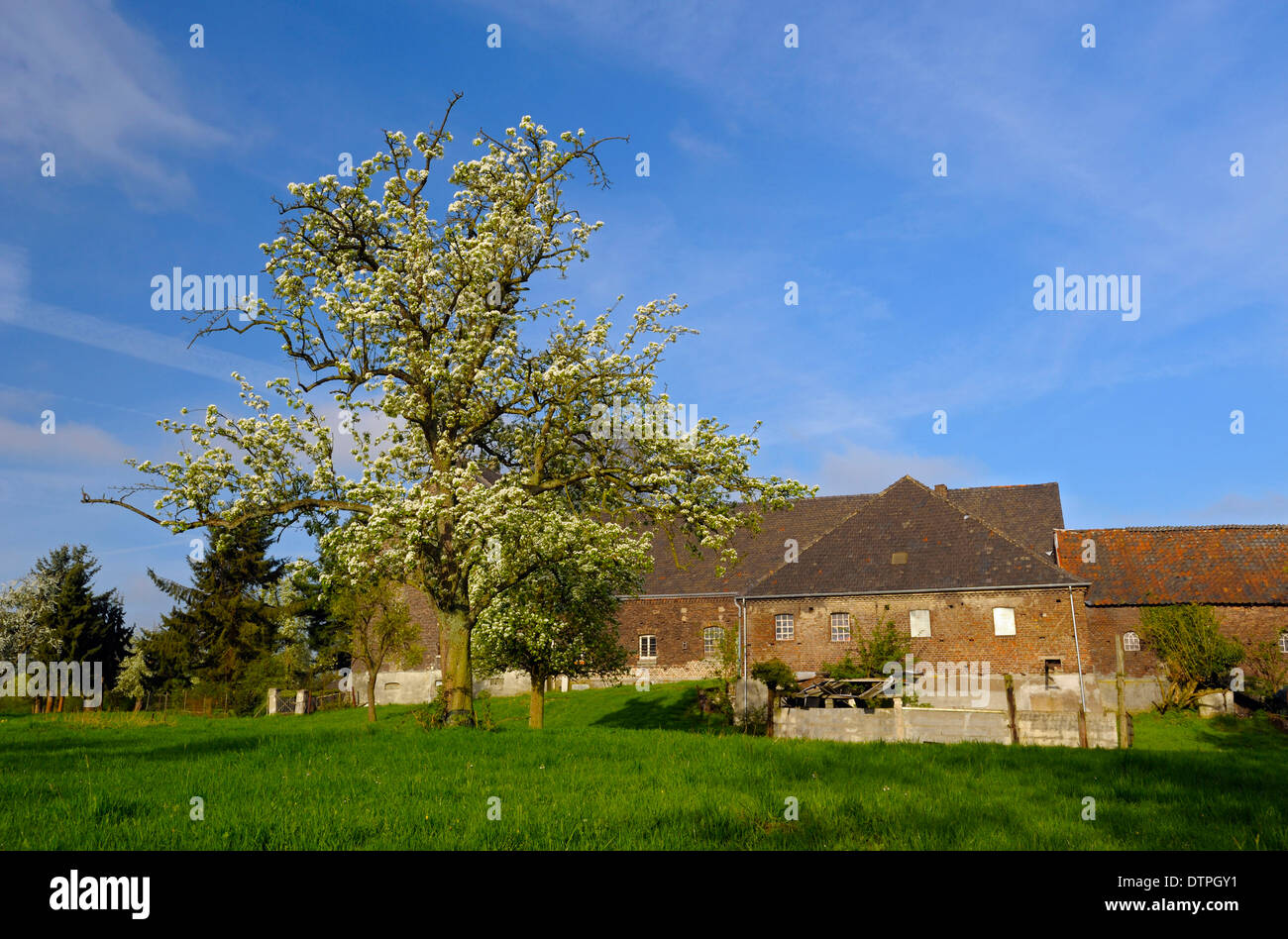 Fruit tree, Voerde-Lohnen, North Rhine-Westphalia, Germany / Voerde-Löhnen - Stock Image