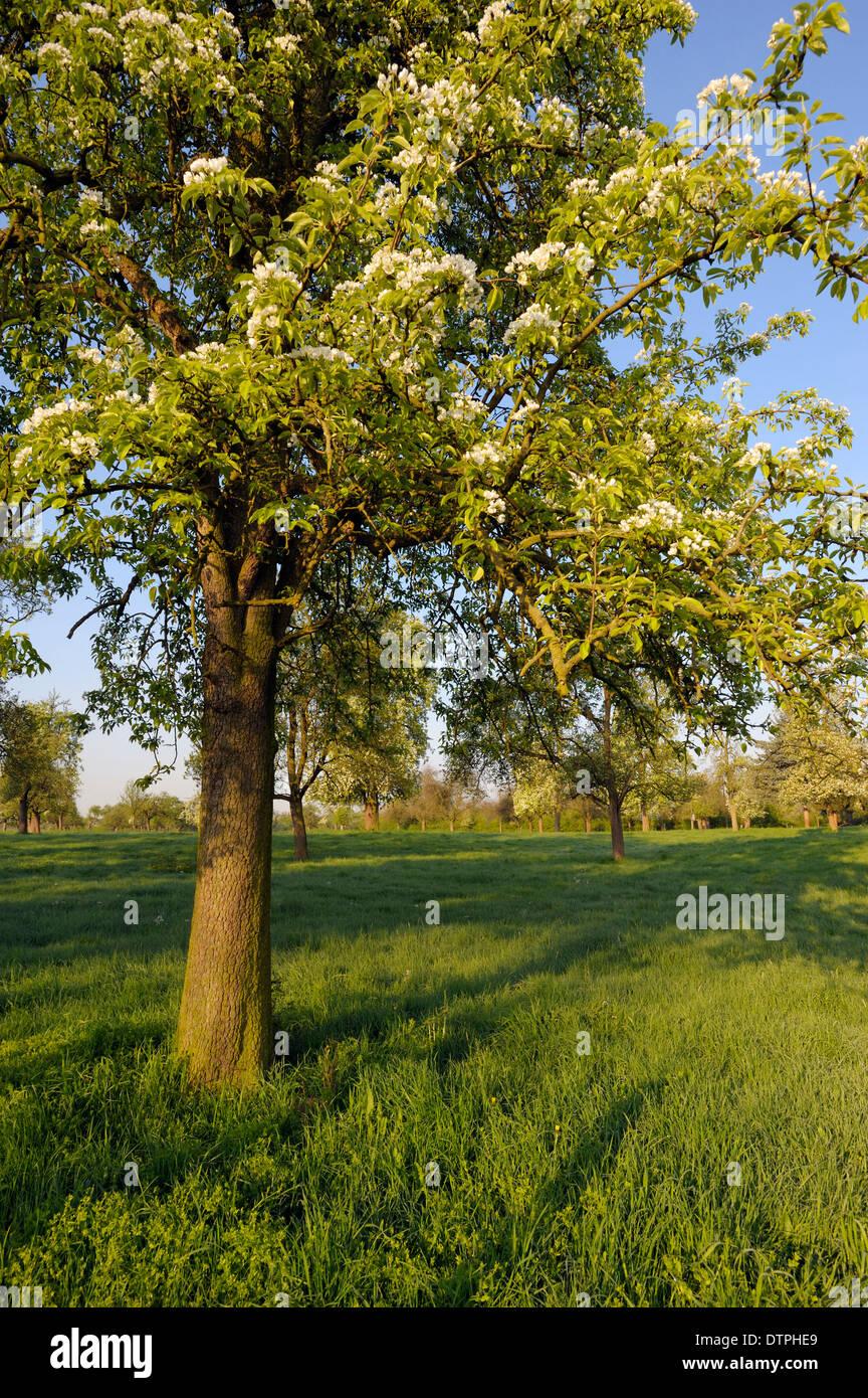 Fruit tree, Loehnen, Germany / Lohnen, Löhnen - Stock Image