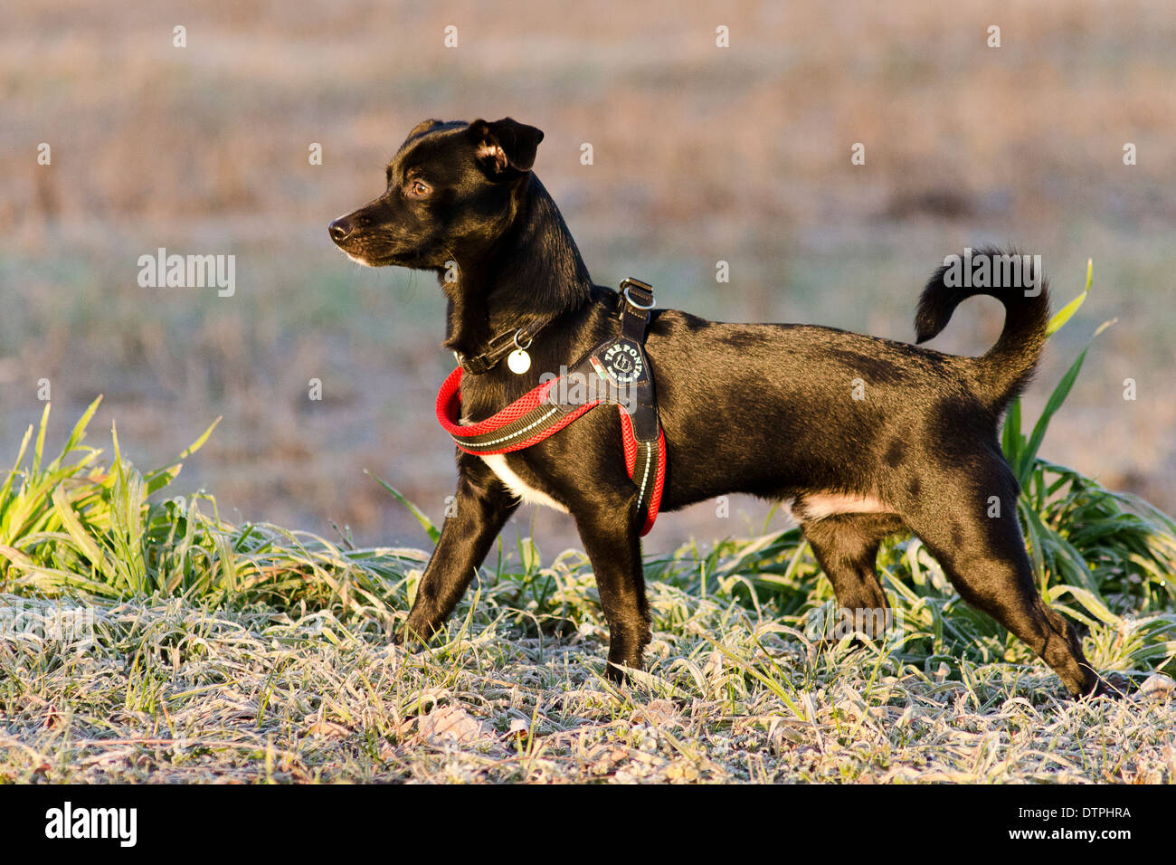 The proud funny doggy - Stock Image