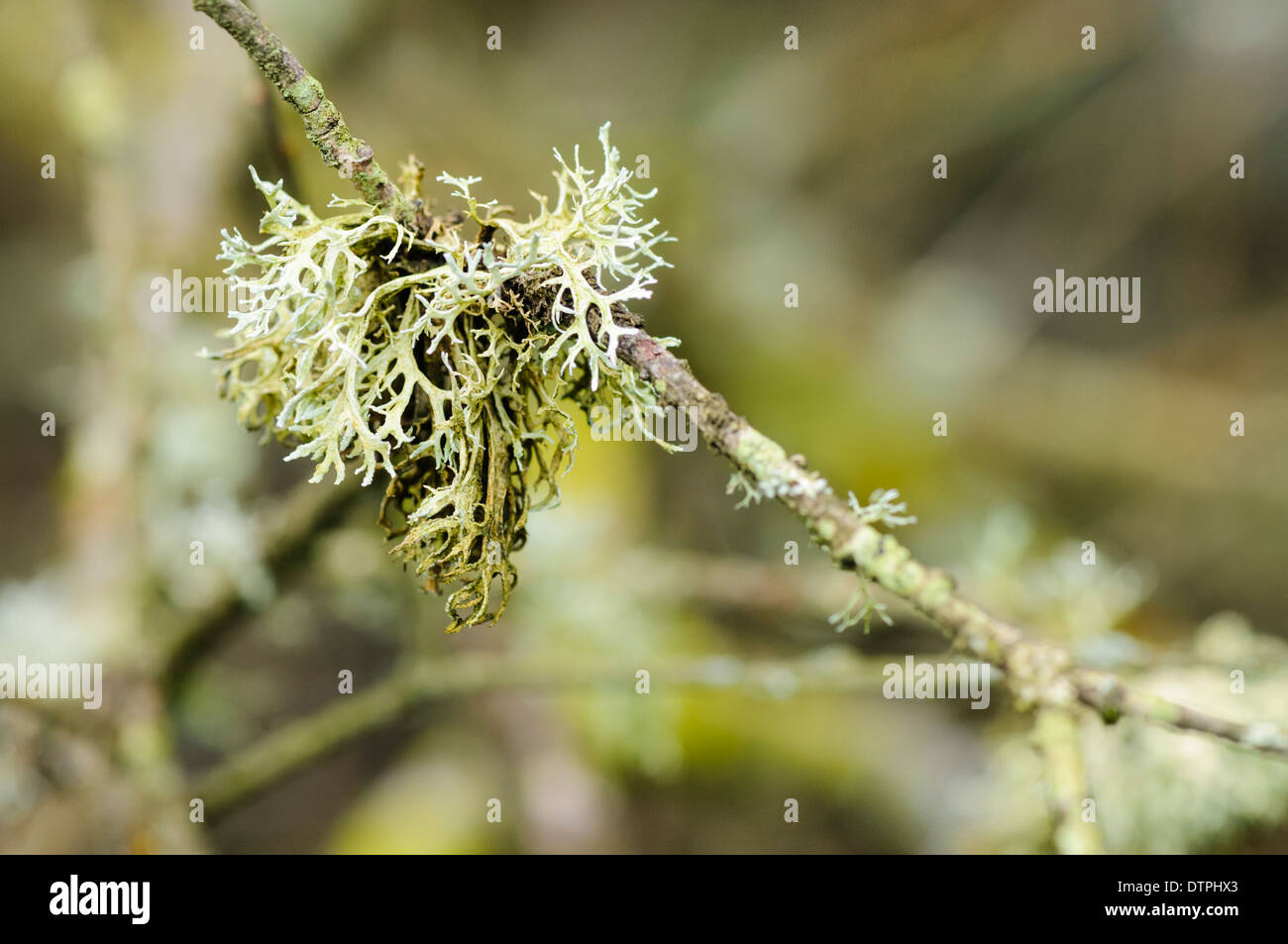 Lichen growing on a branch - Stock Image