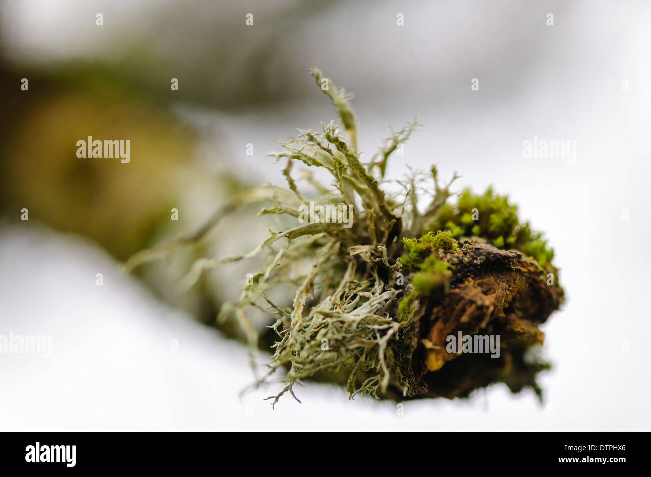 Lichen and moss growing on the end of a branch - Stock Image