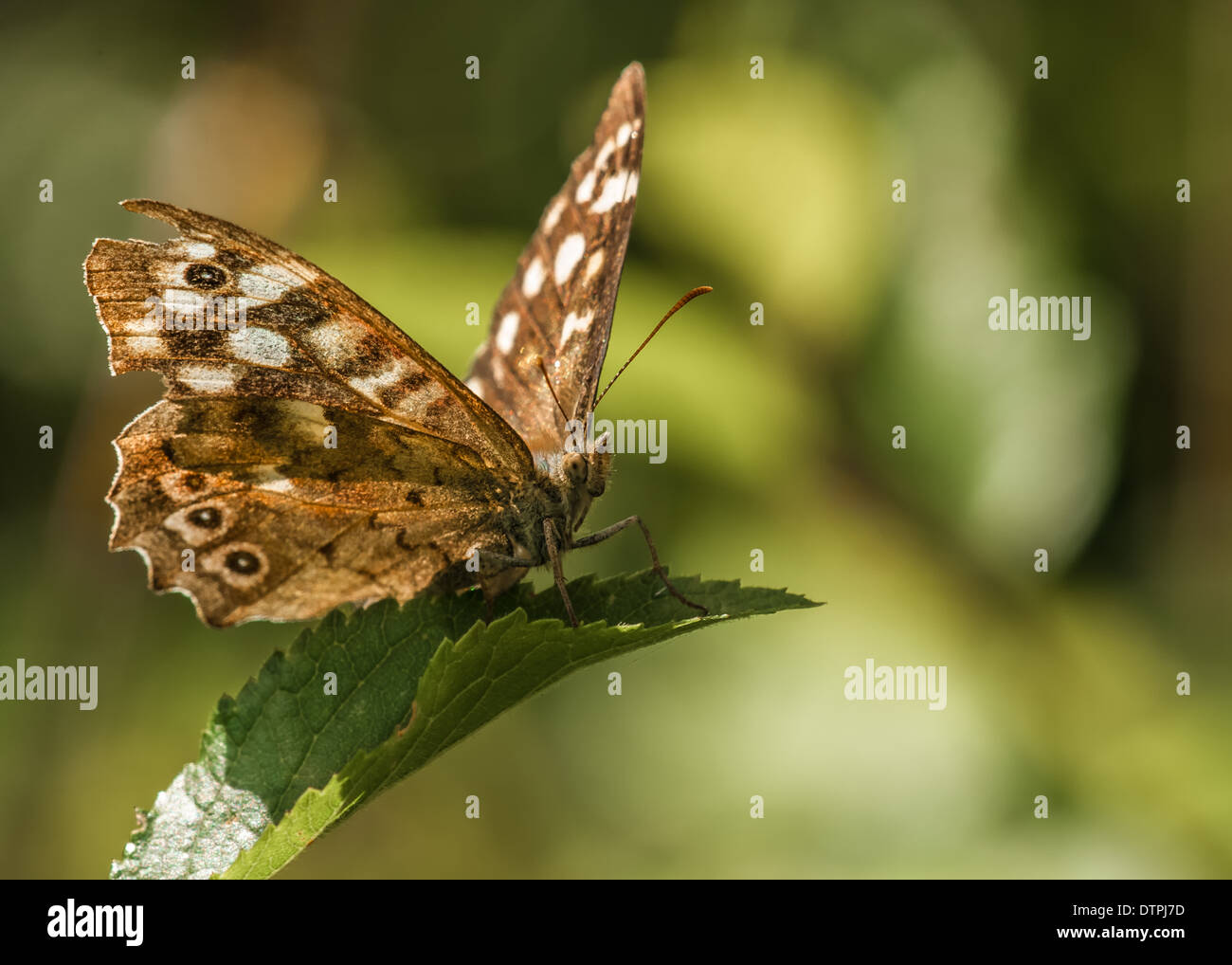 speckled wood butterfly / / pararge aegeria - Stock Image