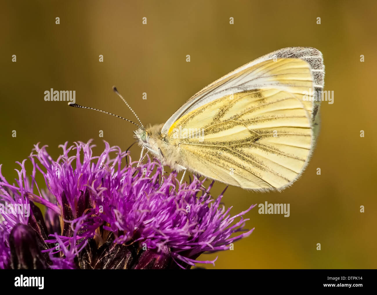 green-veined white butterfly / pieris napi - Stock Image