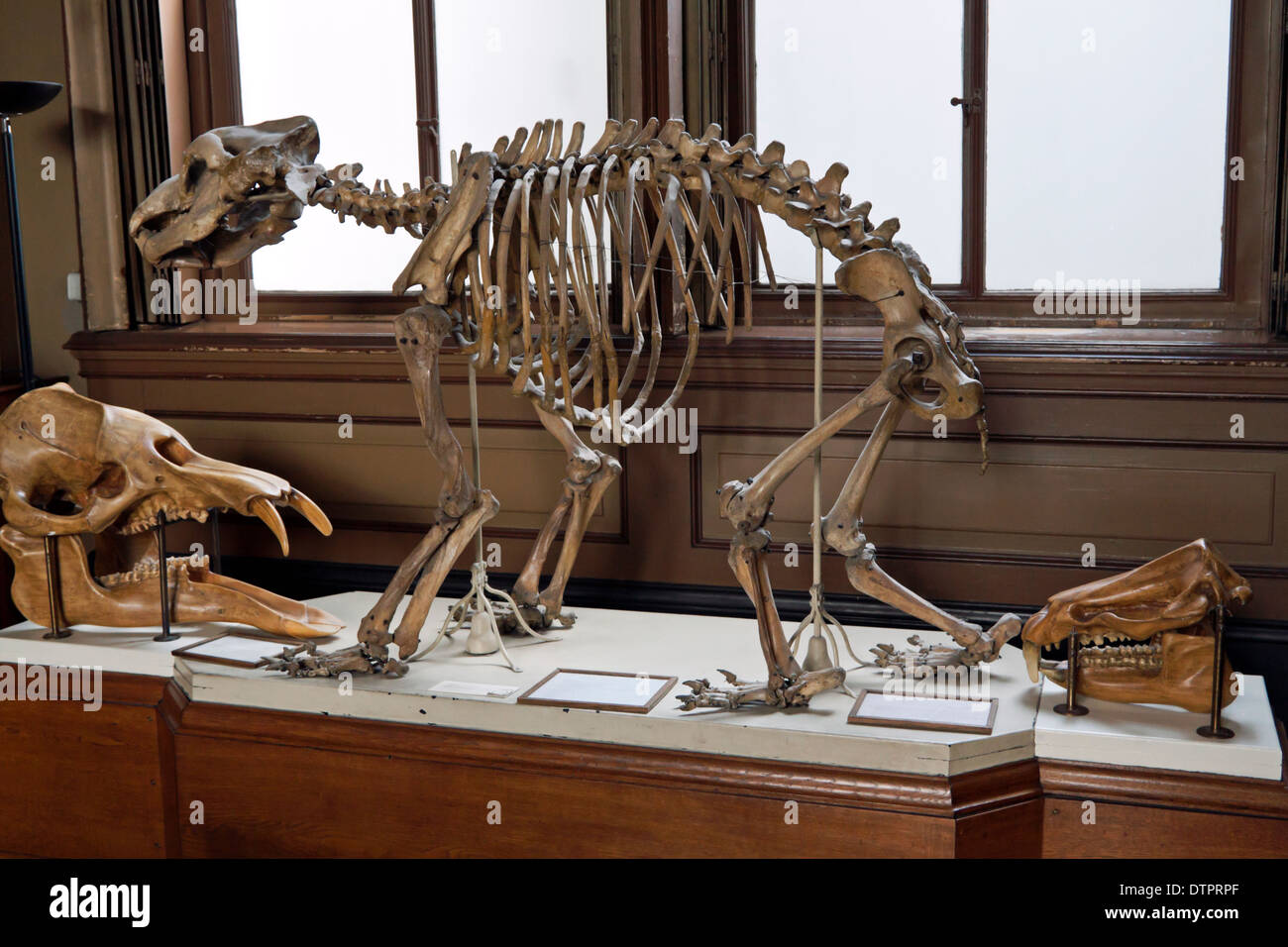 Skeleton of a cave bear at Teylers Museum, Haarlem, North Holland, The Netherlands - Stock Image