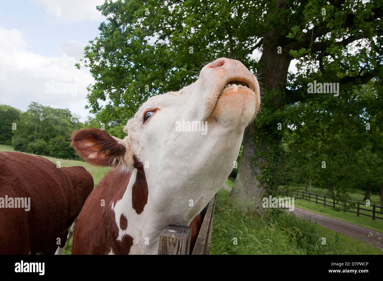 hereford-cow-mooingscratching-head-on-fe