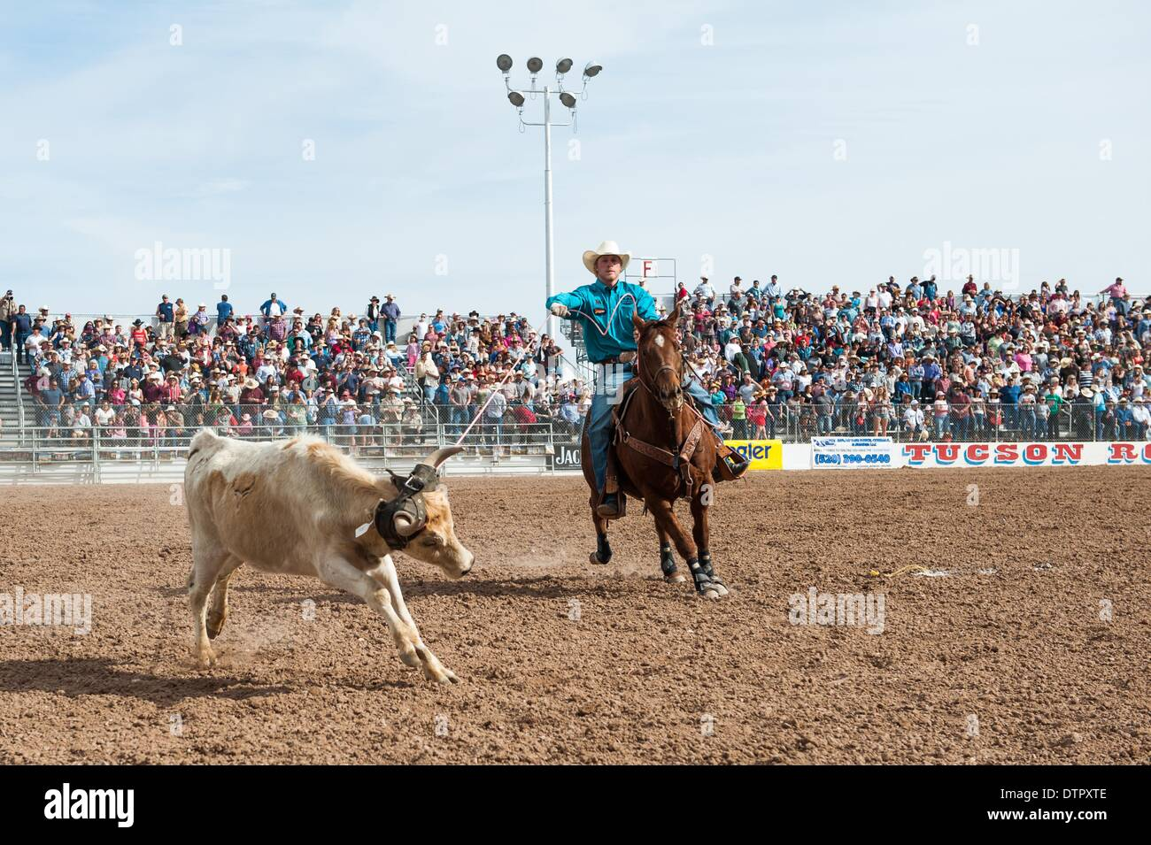 Tucson, Arizona, USA. 22nd Feb, 2014. DOYLE HOSKINS ropes his steer during the team roping event at the Fiesta de Stock Photo