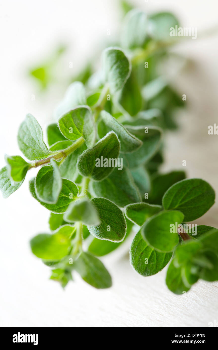 closeup of fresh oregano sprig - Stock Image