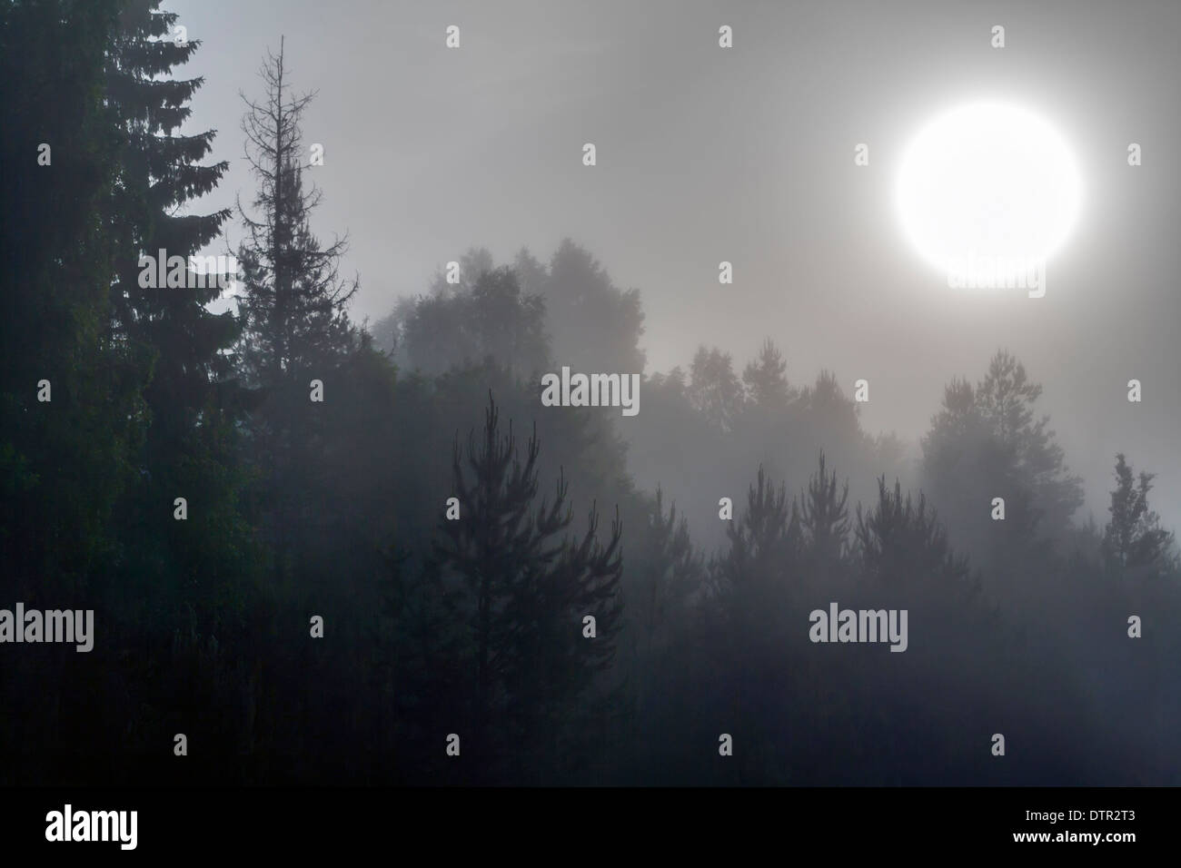 Morning Sun Through Thick Fog with Fir Trees Silhouetted in Foreground - Stock Image