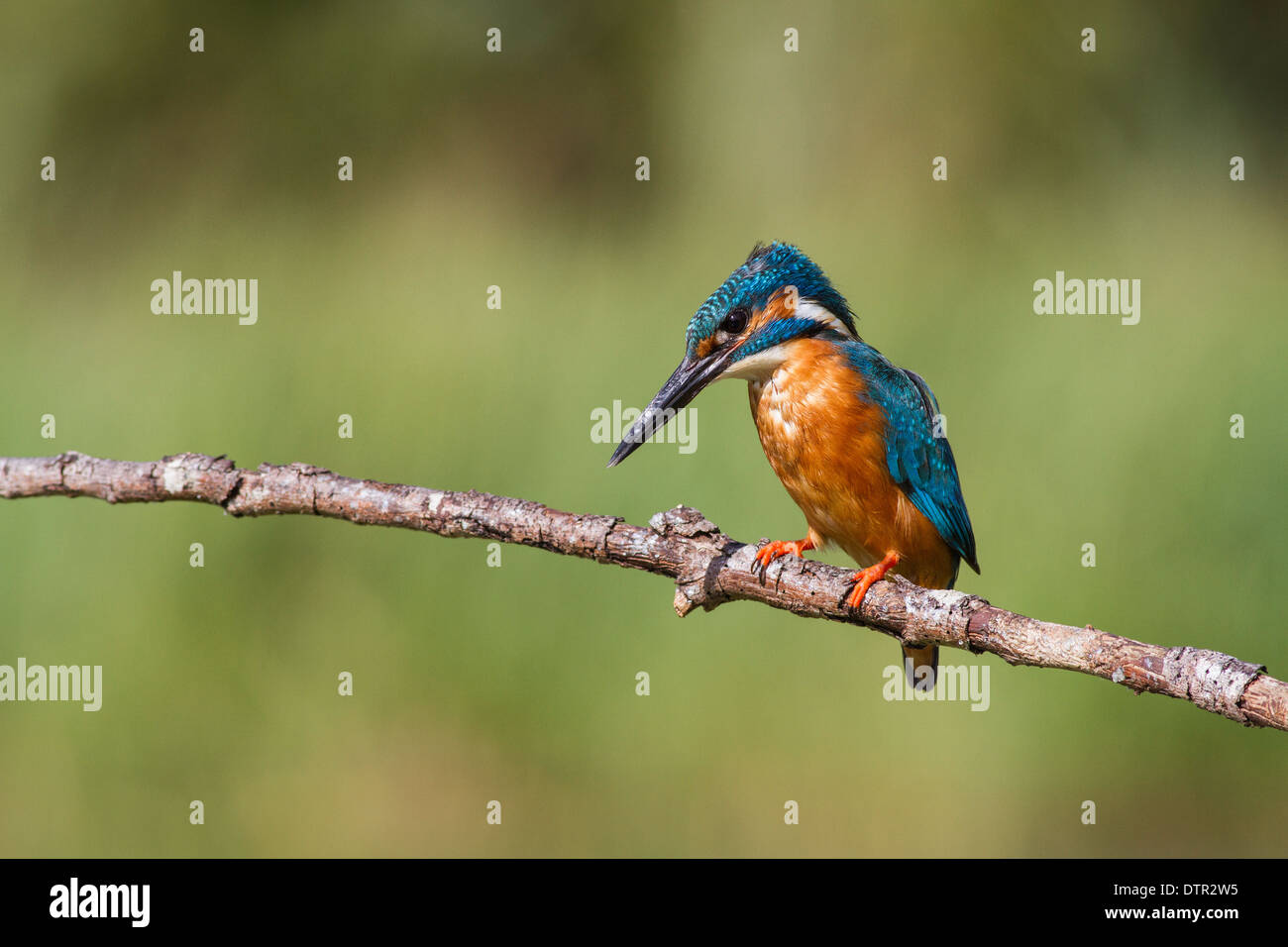 male common kingfisher alcedo atthis perched over a small lake Stock Photo