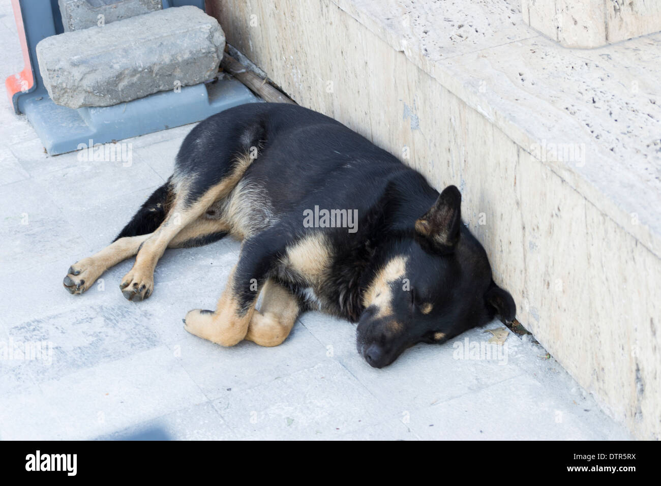 Mixed black and brown stray dog (Canis lupus familiaris) - Stock Image