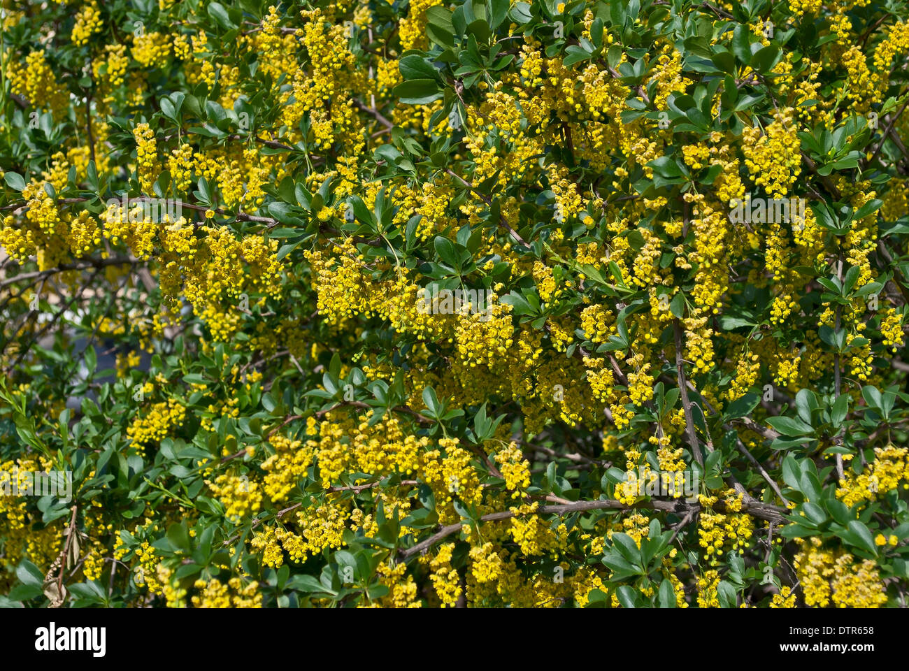 Background Of Yellow Flowers With Small Petals Stock Photo 66892596
