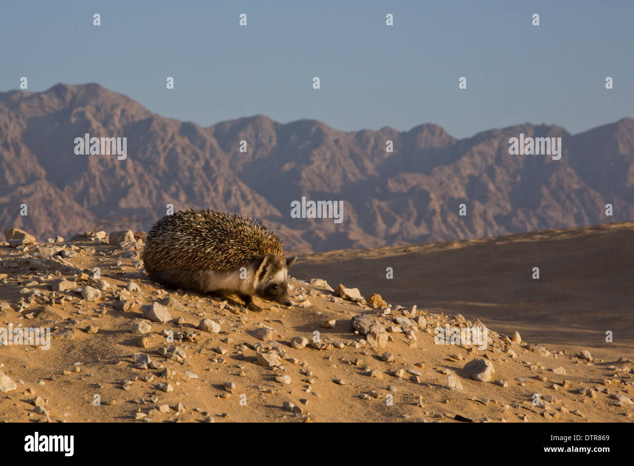 Desert Hedgehog (Paraechinus aethiopicus) photographed in the desert in Israel. The hedgehog is an omnivore and has been known to eat a wide range of - Stock Image