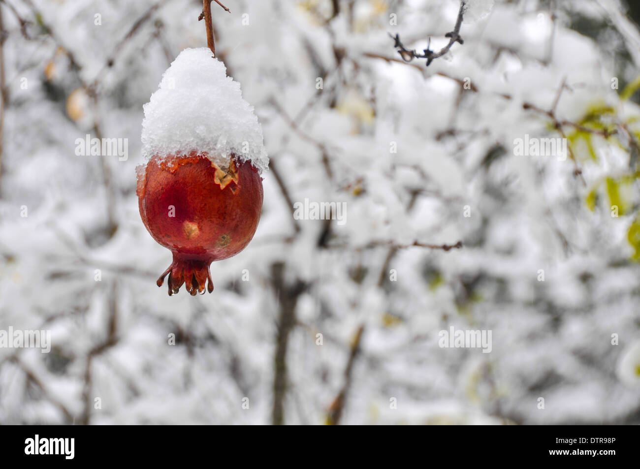 Pomegranate fruit on a tree is covered by snow in a garden photographed in Jerusalem, Israel Stock Photo