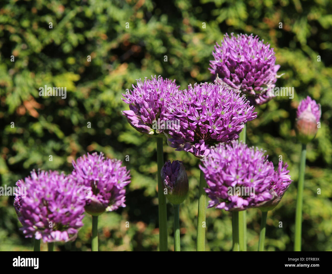 7 purple Aliums  in a group conifer background (2 of series of 2) - Stock Image