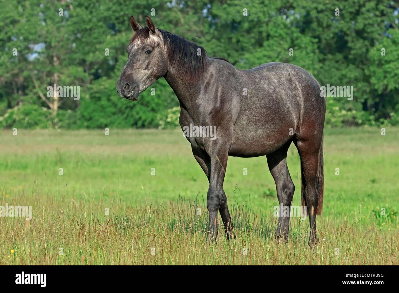 Westphalian Horse - Stock Image