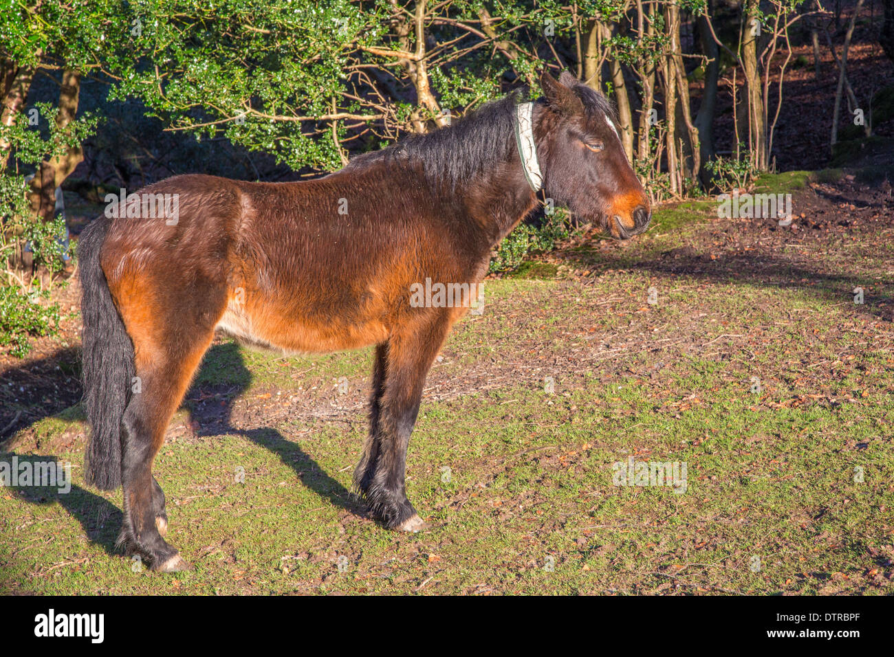 Pony in the New Forest, Hampshire - Stock Image