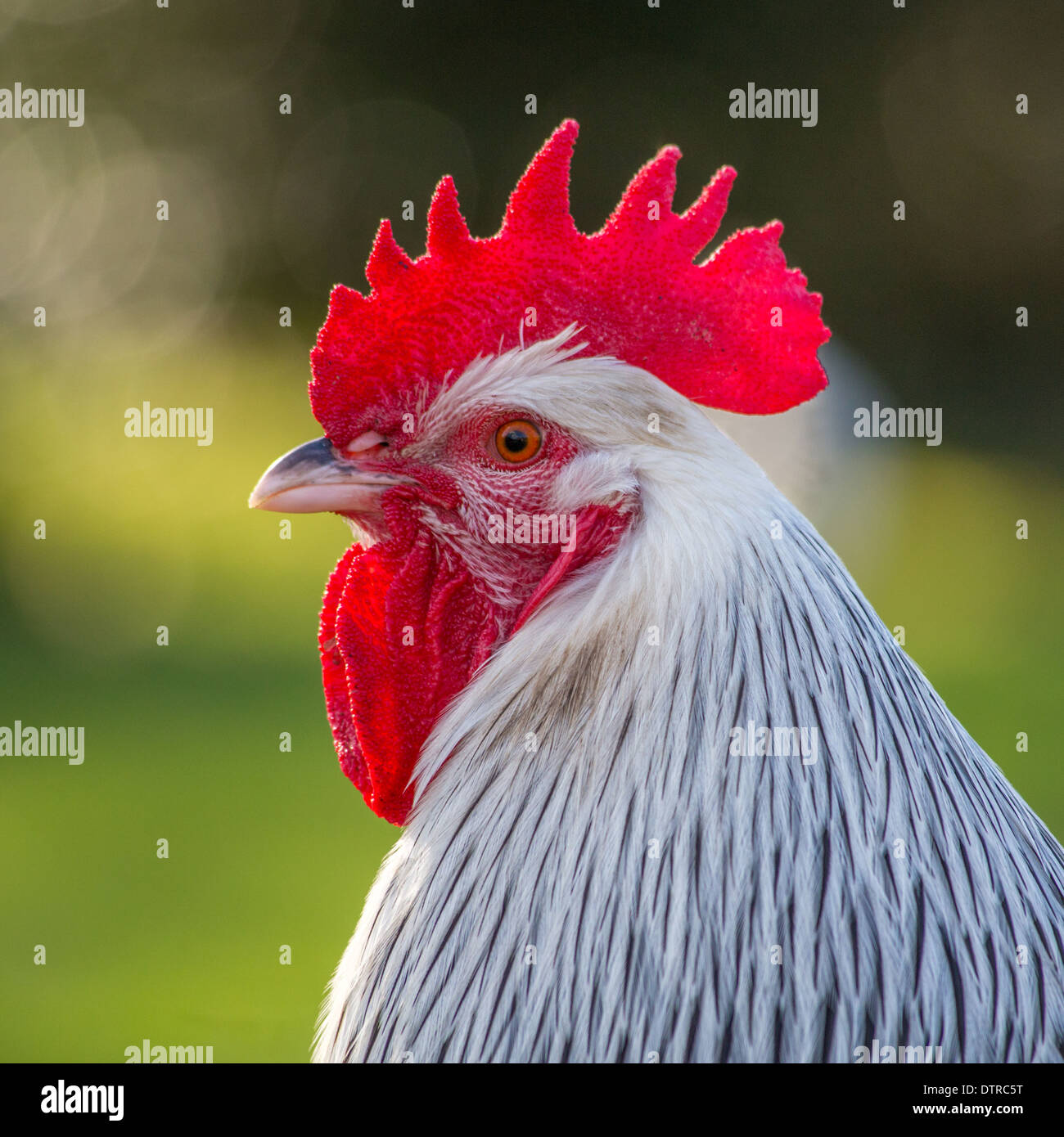 Sussex chicken cockerel - Stock Image