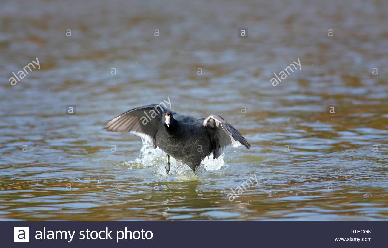 An American Coot swimming in a pond - Stock Image