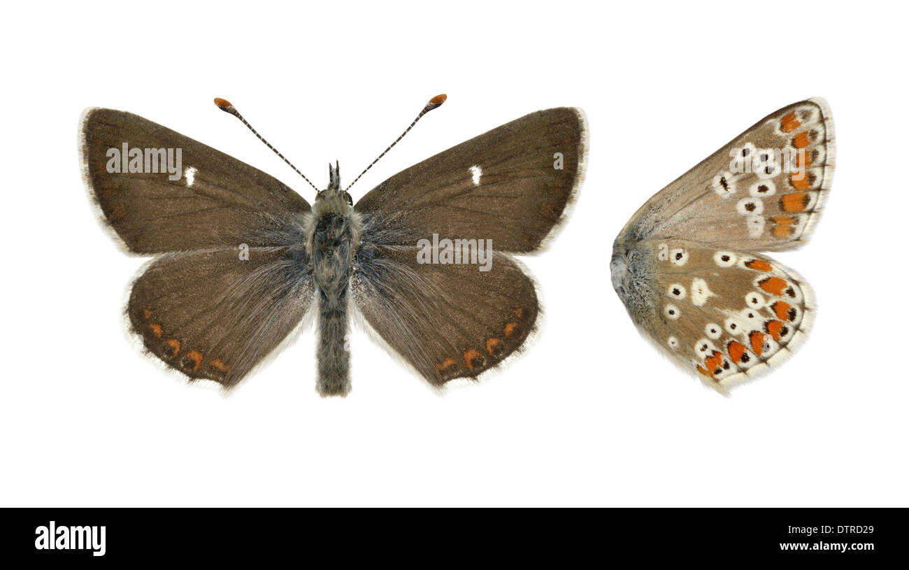 Northern Brown Argus Aricia artaxerxes - Stock Image