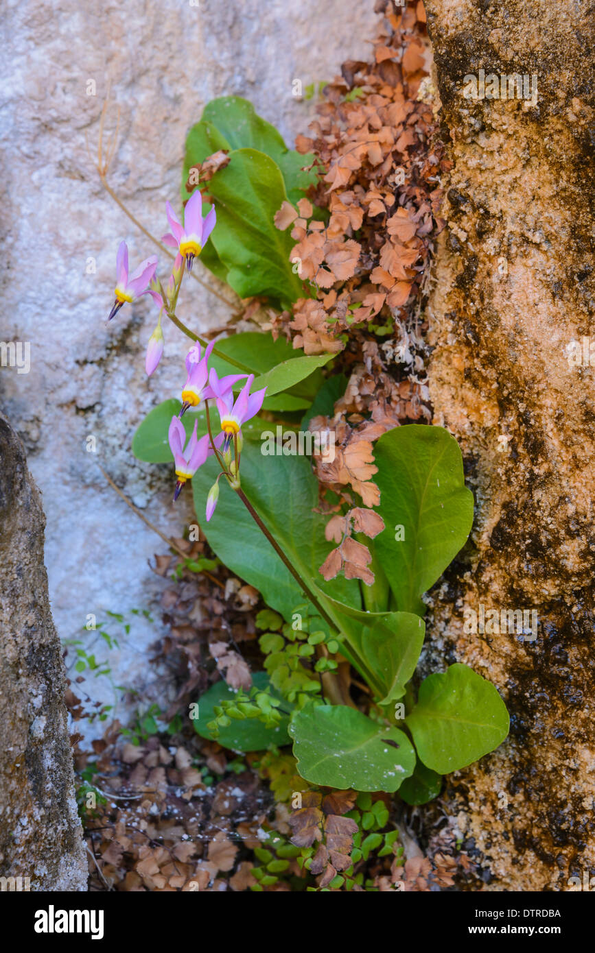 Zion Shooting Star, Dodecatheon Pulchellum, Wildflowers, Weeping Rock, Zion National Park, Utah, USA - Stock Image