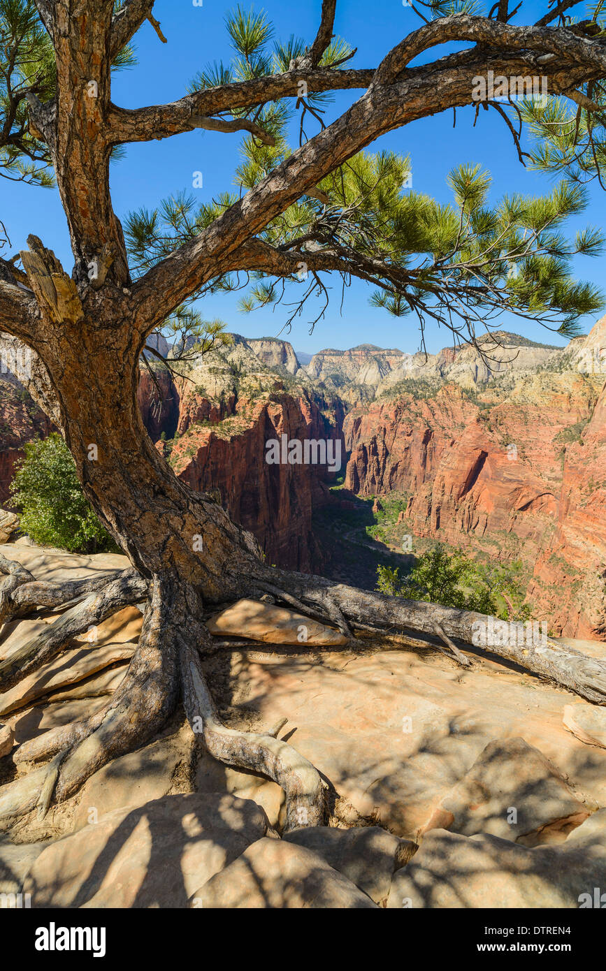 Pine Tree and view of Zion Canyon from Angels Landing, Zion National Park, Utah, USA - Stock Image