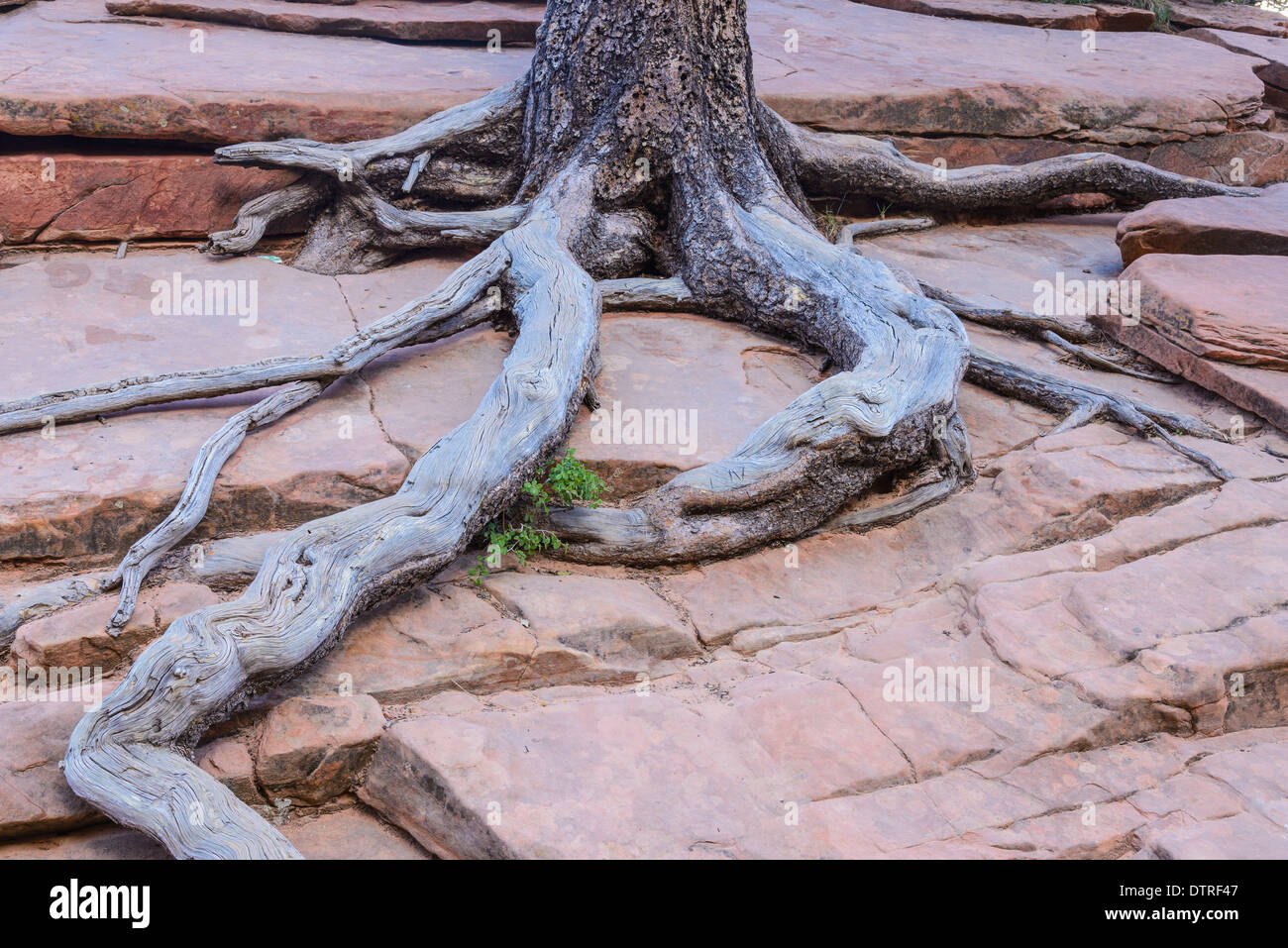 Ponderosa Pine Tree Roots clinging to the slickrock, near Scouts Lookout, Zion National Park, Utah, USA - Stock Image