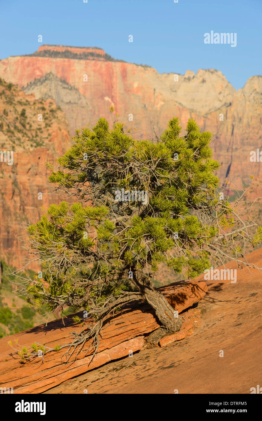 Pine tree growing out of slickrock, Canyon Overlook trail, Zion National Park, Utah, USA - Stock Image