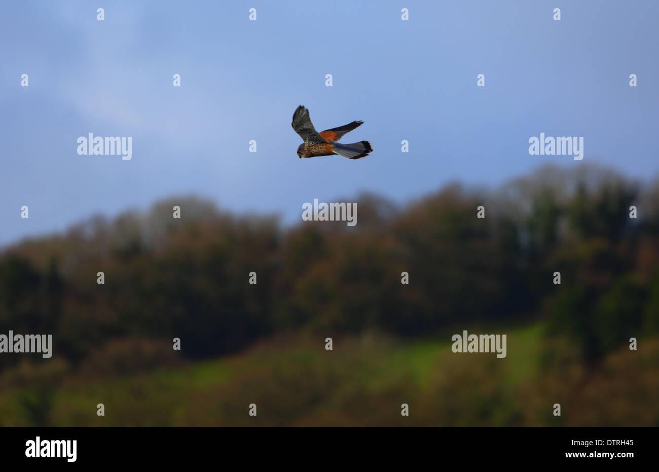 kestrel hovering - Stock Image