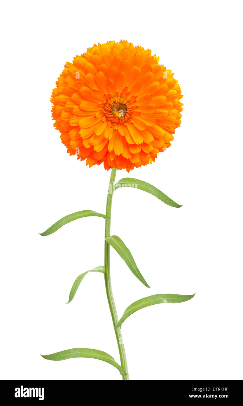 Marigold flower with stem isolated on white stock photo 66903138 marigold flower with stem isolated on white mightylinksfo