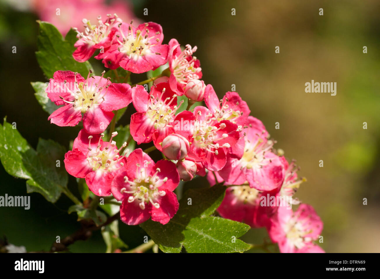 Flowers of the small spring flowering red hawthorn tree crataegus flowers of the small spring flowering red hawthorn tree crataegus laevigata crimson cloud mightylinksfo