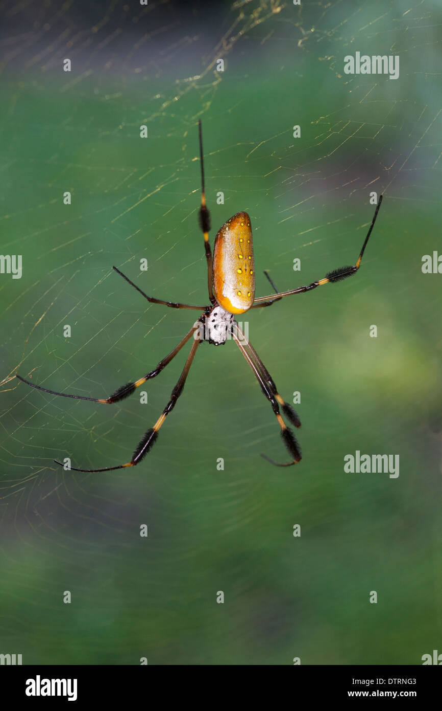Golden Orb Spider (Nephila clavipes) on web in Osa Peninsula rainforest, Costa Rica - Stock Image