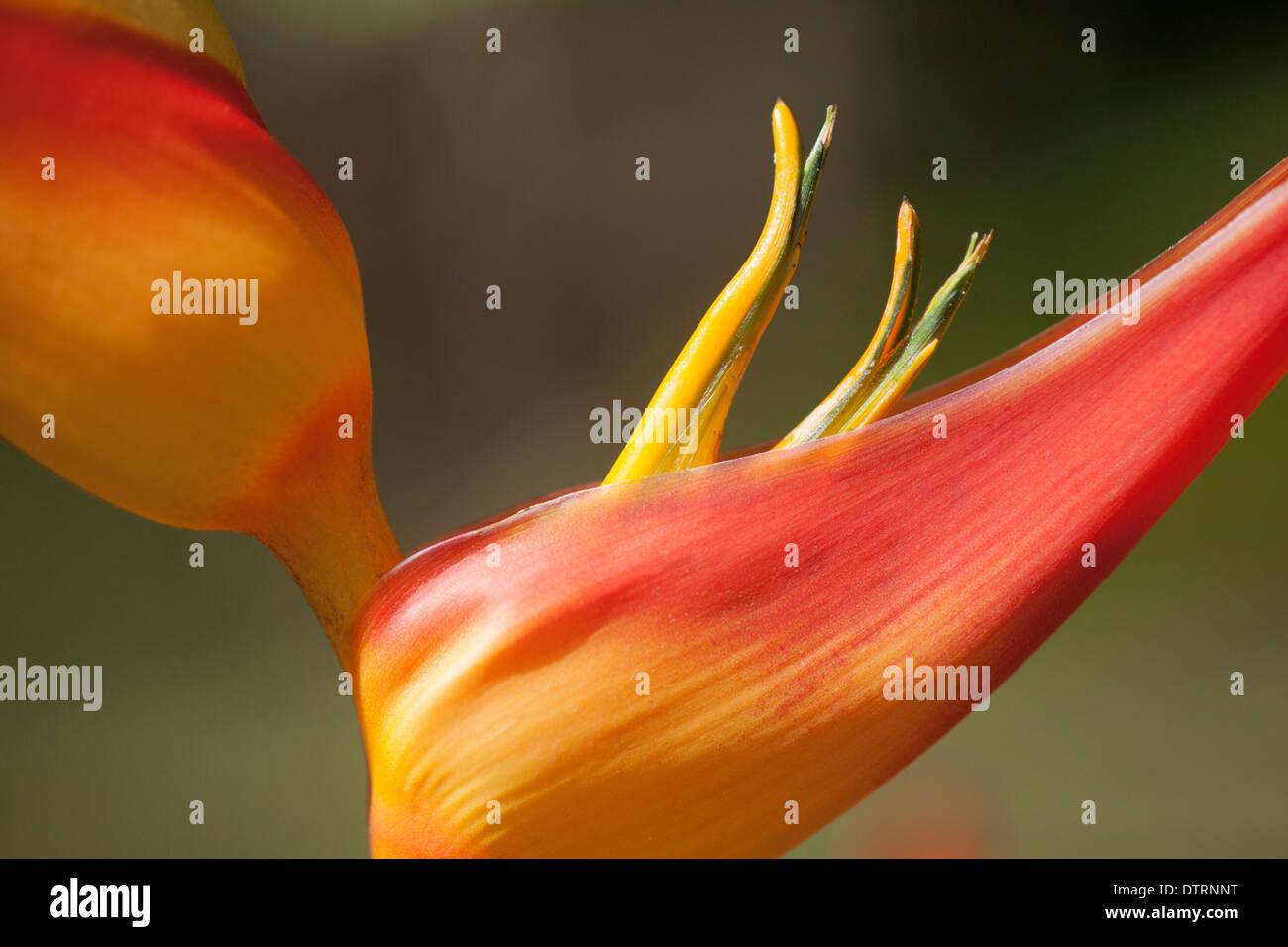 Bird of Paradise flower - Stock Image