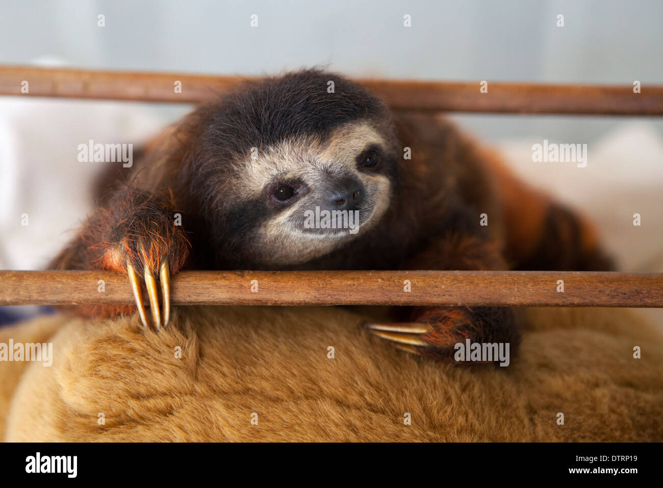Baby brown-throated three-toed sloth (Bradypus variegatus) during play time in nursery at a sloth sanctuary Stock Photo