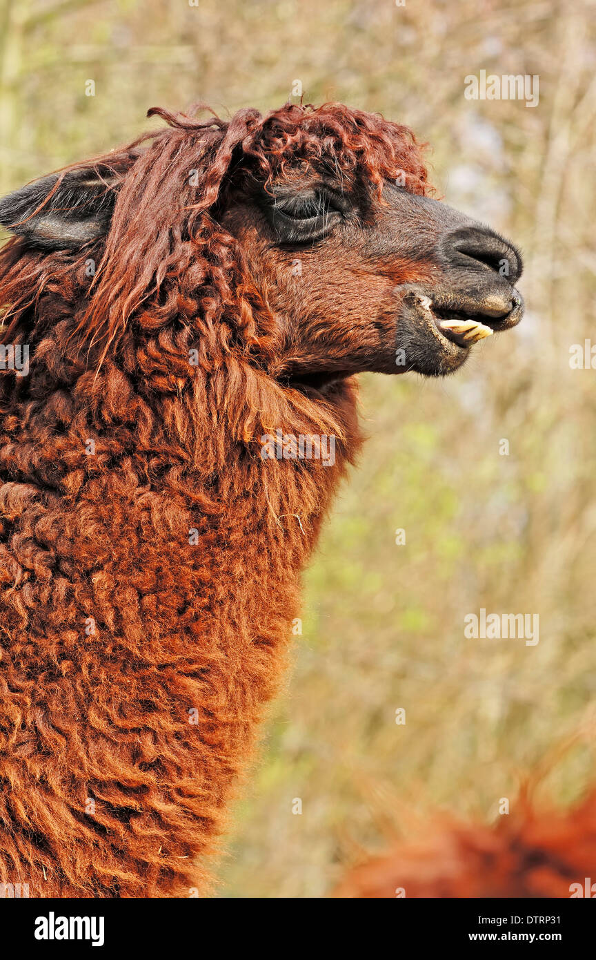 Alpaca / (Lama pacos) Stock Photo