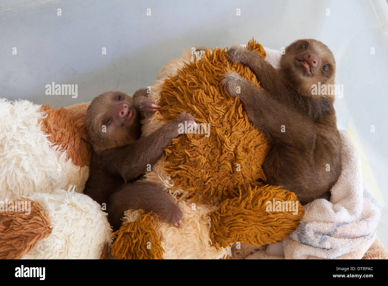 Baby Hoffmann's Two-toed Sloths (Choloepus hoffmanni) with stuffed toys in nursery at Sloth Sanctuary - Stock Image
