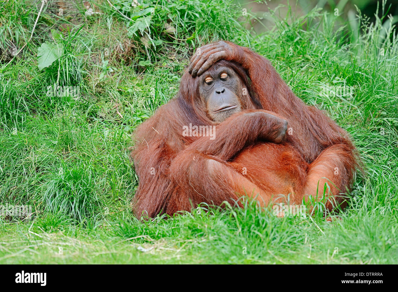 Sumatran Orang-utan / (Pongo pygmaeus abelii, Pongo abelii) / Sumatran Orangutan Stock Photo