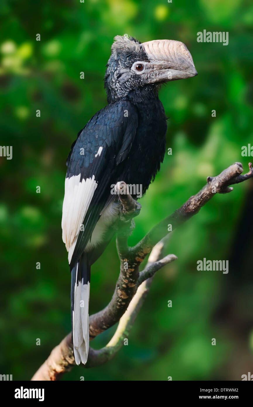 Black-and-white-casqued Hornbill / (Bycanistes subcylindricus) / Grey-Cheeked Hornbill Stock Photo