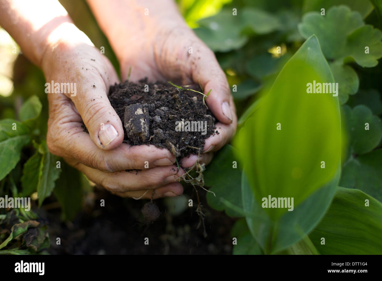 Closeup image of old woman with handful of soil in garden - Stock Image