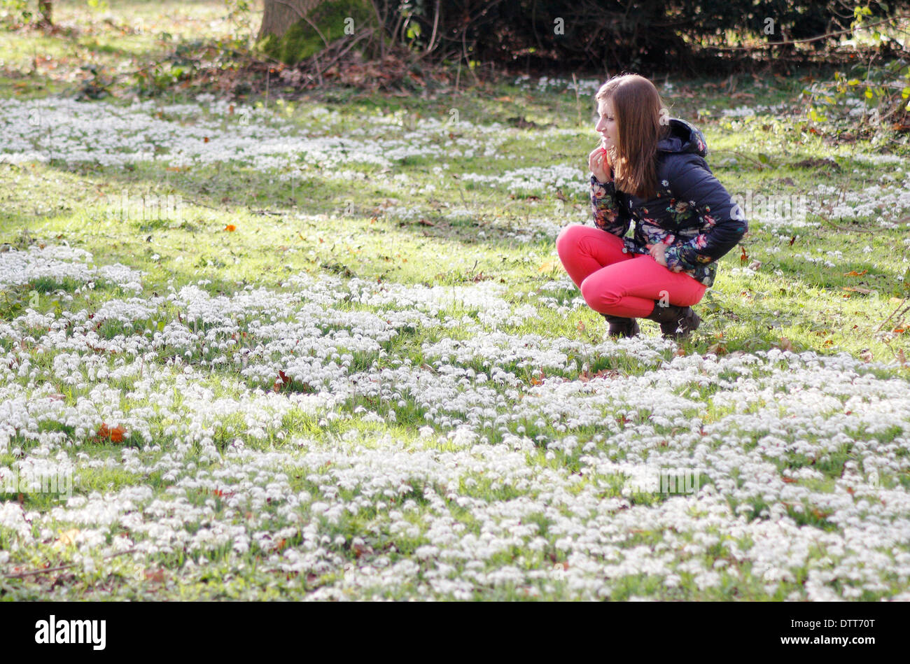 Young woman, early 20's, admiring snowdrops (Galanthus Nivalis) in deciduous wood at Hodsock Priory, Nottinghamshire, England,UK - Stock Image