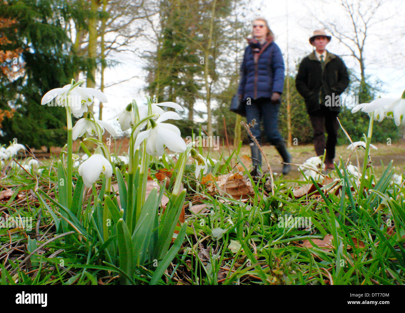 Man and woman walk by snowdrops through deciduous woodland at Hodsock Priory, Nottinghamshire, England, UK - Stock Image