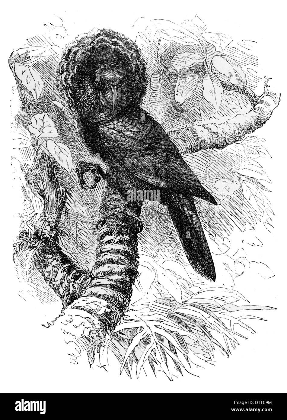 Crested Hawk Parrot Deroptyus accipitrinus coronatus - Stock Image