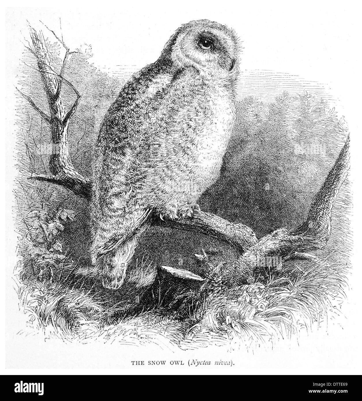 Snow Owl Nyctea nivea - Stock Image