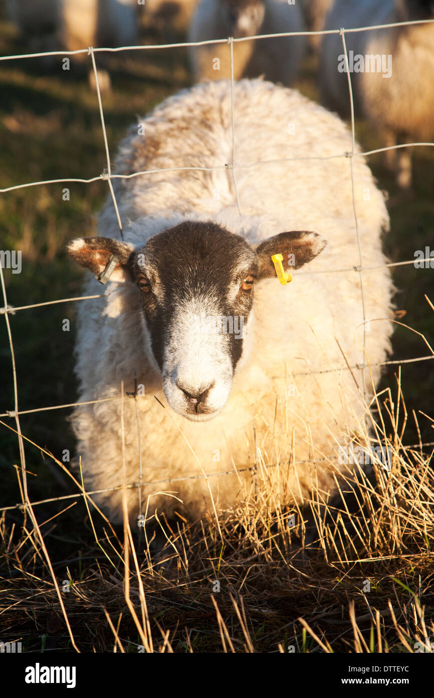Flock of sheep grazing on drained marshland fields at Gedgrave, Suffolk, England - this one with head caught in wire fence - Stock Image