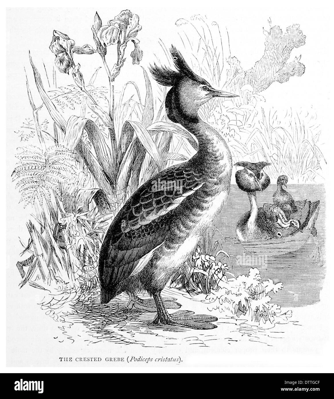 Crested Grebe Podiceps cristatus - Stock Image